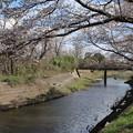 桜_福岡堰 D5355
