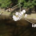 Photos: 桜_福岡堰 D5357