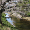 桜_福岡堰 D5356