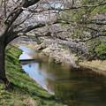 Photos: 桜_福岡堰 D5356