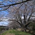 Photos: 桜_福岡堰 D5358