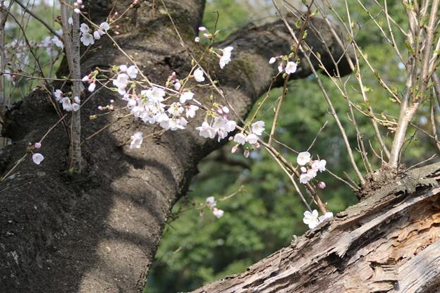 桜_福岡堰 D5360