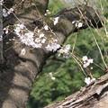 Photos: 桜_福岡堰 D5360