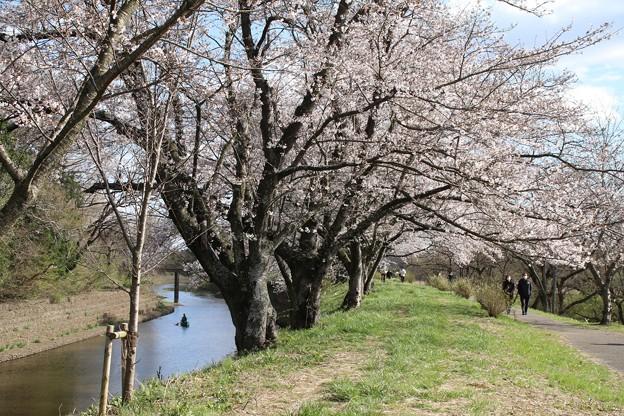 桜_福岡堰 D5359 -t