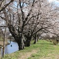 Photos: 桜_福岡堰 D5359 -t
