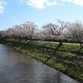 Photos: 桜_福岡堰 D5363
