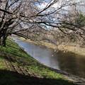 Photos: 桜_福岡堰 D5361