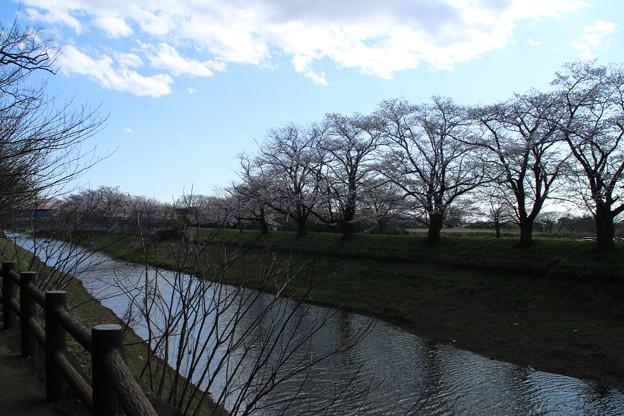 桜_福岡堰 D5365