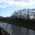 Photos: 桜_福岡堰 D5365