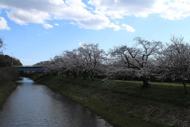 桜_福岡堰 D5368