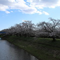 Photos: 桜_福岡堰 D5368