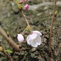 桜_福岡堰 D5369