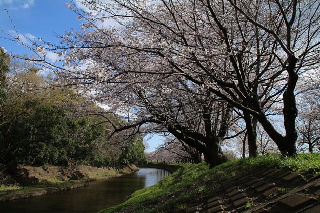 桜_福岡堰 D5370