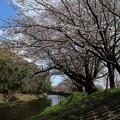Photos: 桜_福岡堰 D5370
