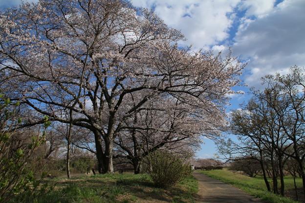 桜_福岡堰 D5371