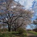 Photos: 桜_福岡堰 D5371