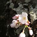 Photos: 桜_福岡堰 D5372