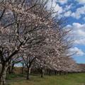 Photos: 桜_福岡堰 D5373