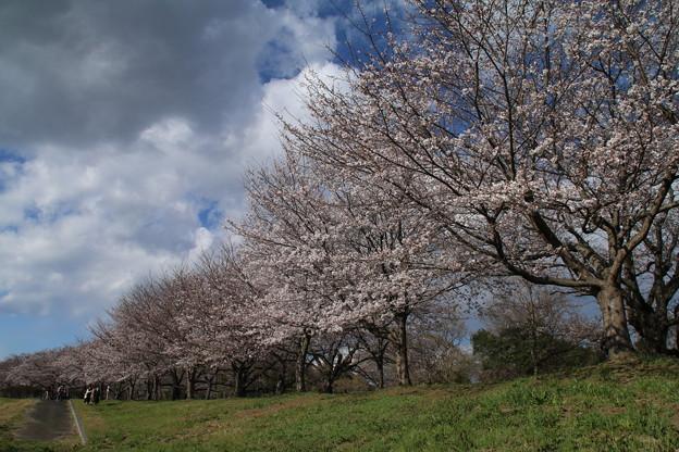Photos: 桜_福岡堰 D5374