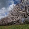 桜_福岡堰 D5374