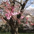 桜_福岡堰 D5375
