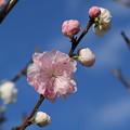 Photos: 花桃_福岡堰 D5378