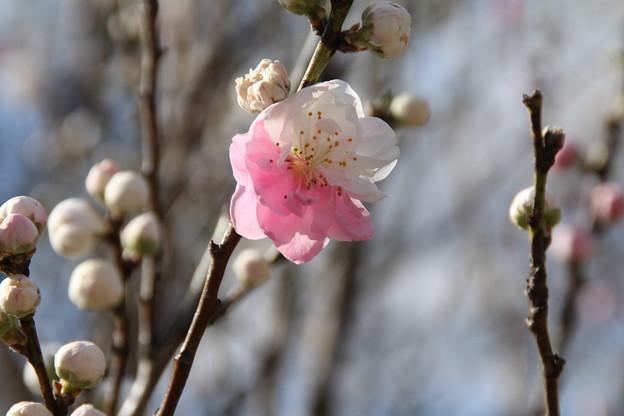 花桃_福岡堰 D5379