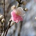 Photos: 花桃_福岡堰 D5379