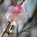 Photos: 花桃_福岡堰 D5381