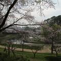 Photos: 桜_公園 D5418