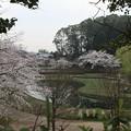 Photos: 桜_公園 D5420