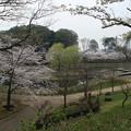 Photos: 桜_公園 D5421