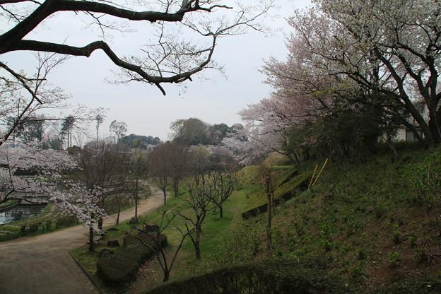 桜_公園 D5422