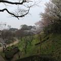 Photos: 桜_公園 D5422