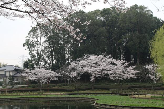 桜_公園 D5425