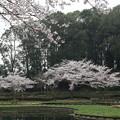 Photos: 桜_公園 D5425