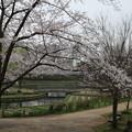 Photos: 桜_四季の里 D5423