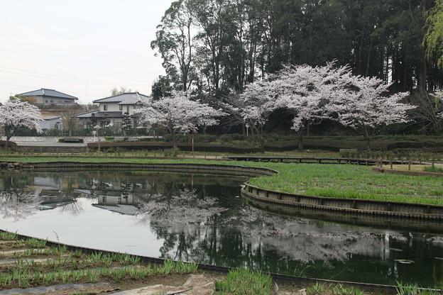 Photos: 桜_四季の里 D5427