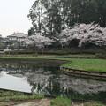桜_四季の里 D5427