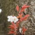 Photos: 桜_四季の里 D5430