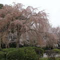 Photos: 桜_神社 D5431