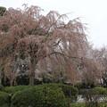 桜_神社 D5431