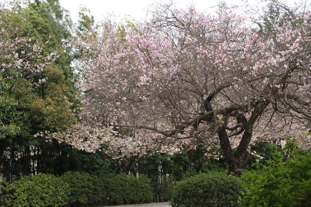 桜_神社 D5432
