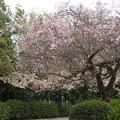 Photos: 桜_神社 D5432