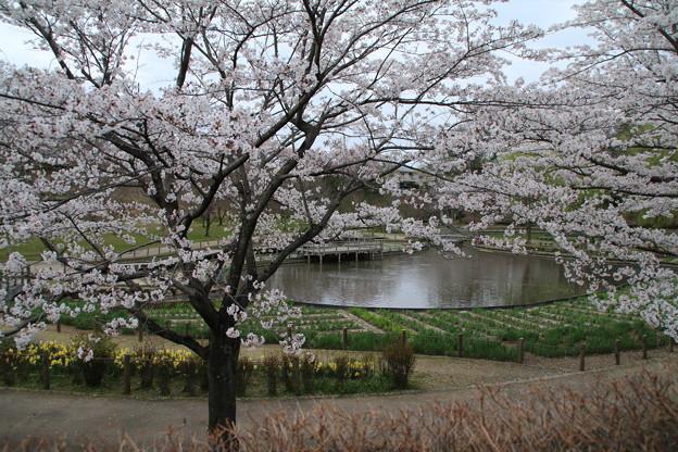 Photos: 桜_四季の里 D5448