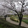 桜_四季の里 D5449