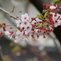 桜_散歩道 D5489