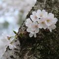 Photos: 桜_四季の里 D5452