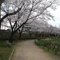 Photos: 桜_四季の里 D5451