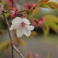 Photos: 桜_散歩道 D5486